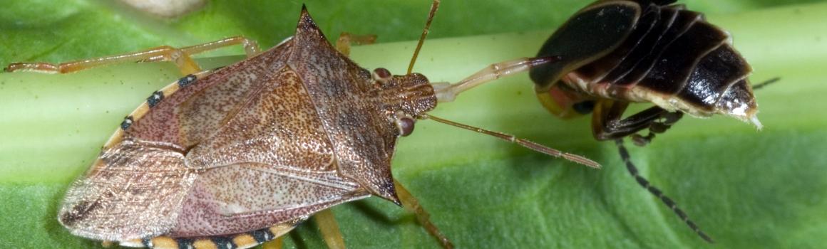 Got Stink bugs? That Stinks!