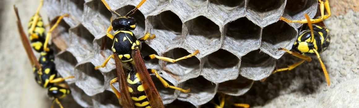 So why are those yellow jackets so mean?